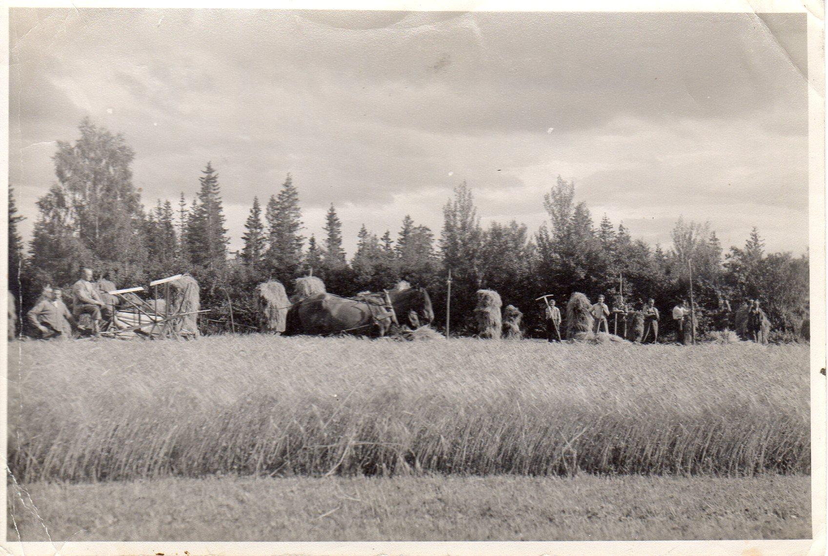 Rostad gård og barnehjem har vært en viktig arbeidsplass for folka på Ulvenaune gjennom lang tid, f.eks. kom mor til Nils, Beret Martha, dit før 1910. Bildet er fra skurdonnearbeid, antagelig i 1930-årene. Dette er før traktorens og skurtrøskas tid. Sjølbinderen trekkes av to hester, og kornbanda tørkes på staur.